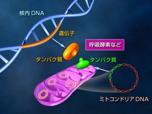 図:ミトコンドリアDNA