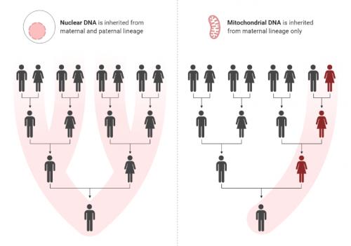 図:母系遺伝のハプログループ